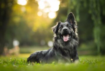 Cómo adiestrar a un perro adulto