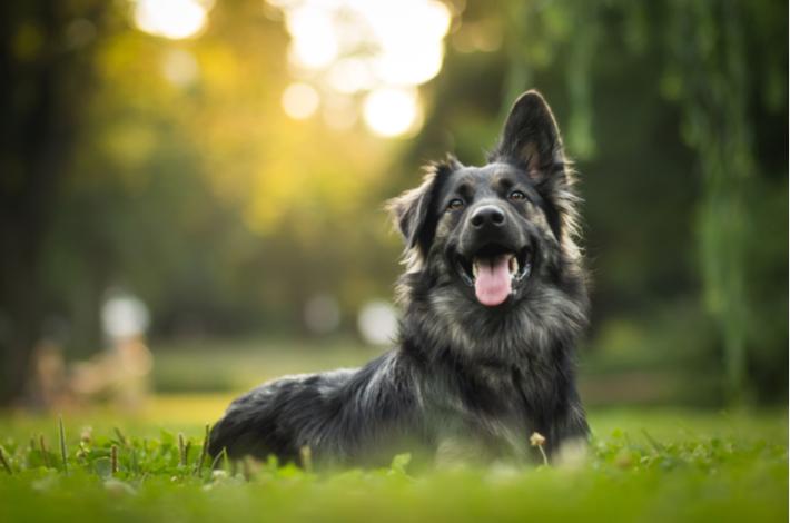 trucos y consejos para adiestrar a un perro adulto