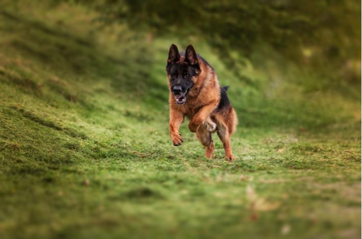 nivel de actividad física que necesita el pastor alemán