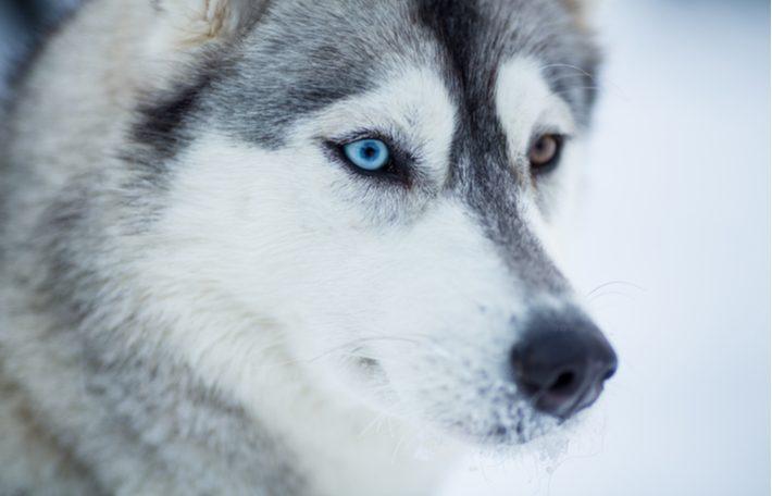 caracter y cuidados el husky siberiano