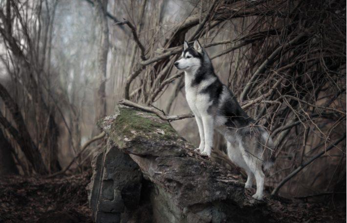 caracteristicas de la raza de perro husky siberiano