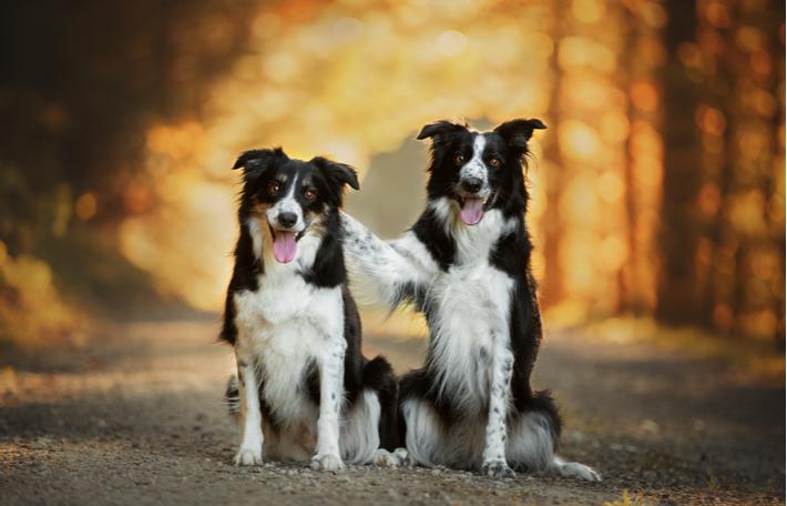 principales características de la raza de perro border collie