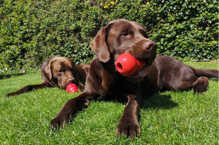 kong juguete para perros