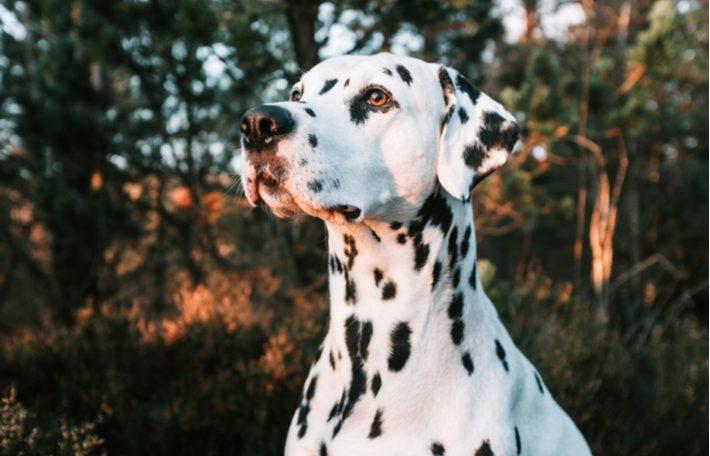 origen de la raza de perro dálmata