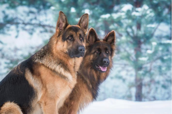 origen del perro pastor alemán