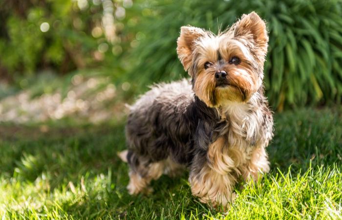 perro raza yorkshire