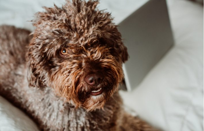 caracteristicas perro de agua español