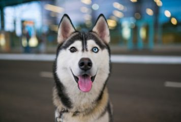 10 curiosidades del Husky Siberiano