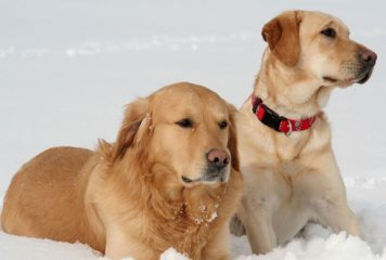 Diferencias entre Golden Retriever y Labrador Retriever