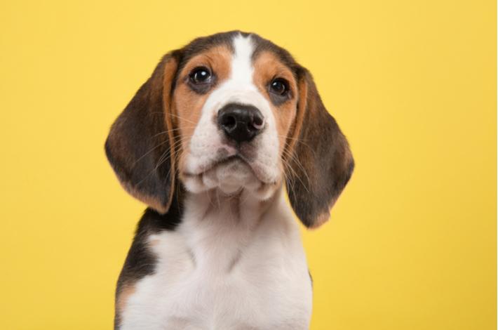 raza de perro bleagle