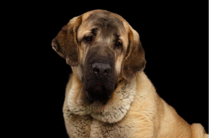 El mastín es un perro noble, fiel y muy cariñoso