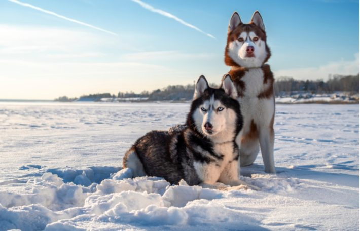 características del husky siberiano