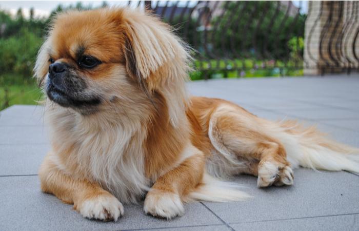 perro raza pekines