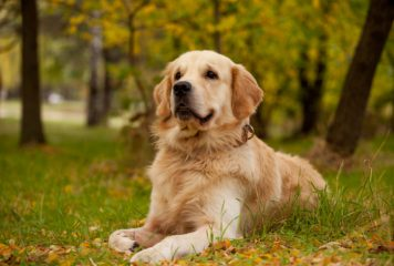 Pienso Royal Canin para Golden Retriever