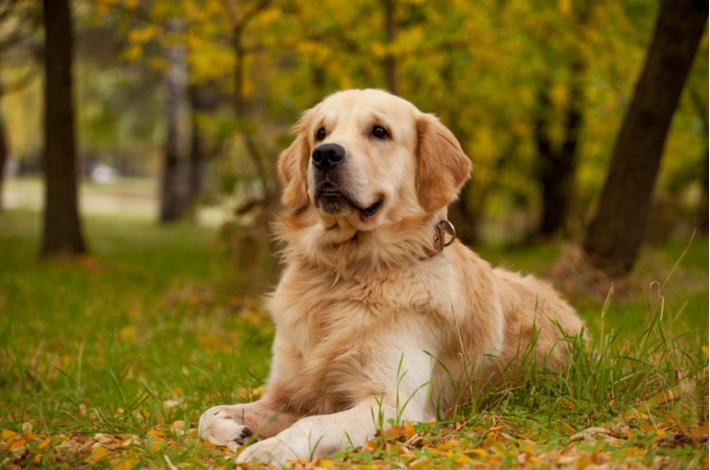 royal canin golden retriever