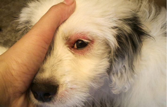 conjuntivitis perros