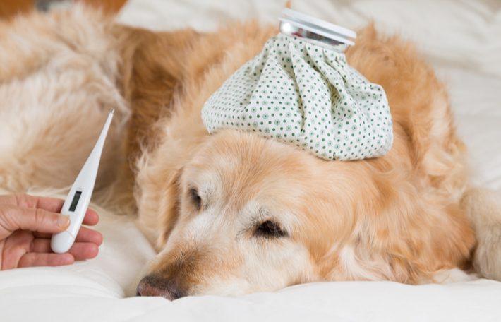 sintomas de fiebre en perros