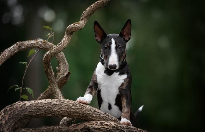 Bull Terrier Inglés Mini