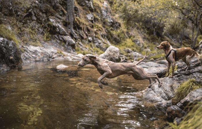caracteristicas perros caza