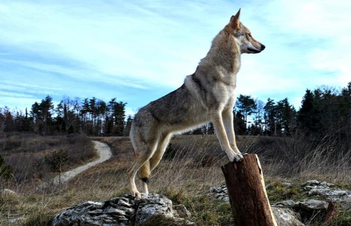 caracteristicas perro lobo