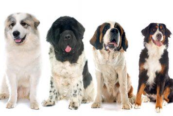Perros más grandes del mundo