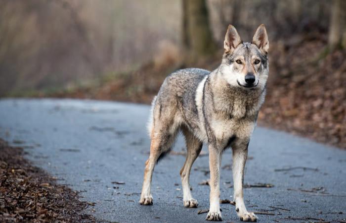 origen perro lobo checoslovaco