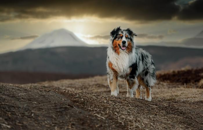 raza de perro pastor australiano