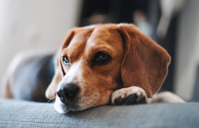 educar a un beagle