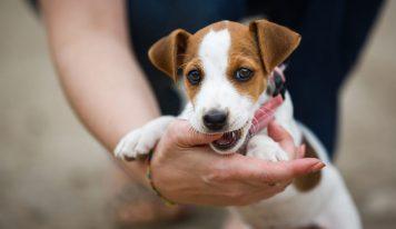 Como enseñar a un cachorro a no morder
