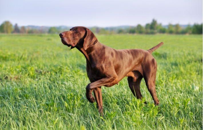 como escoger el mejor pienso para un perro de caza