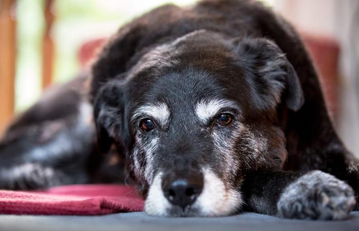 ¿Cuántos años viven los perros?
