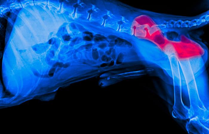 displasia de cadera perros