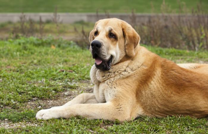 perro raza mastin español
