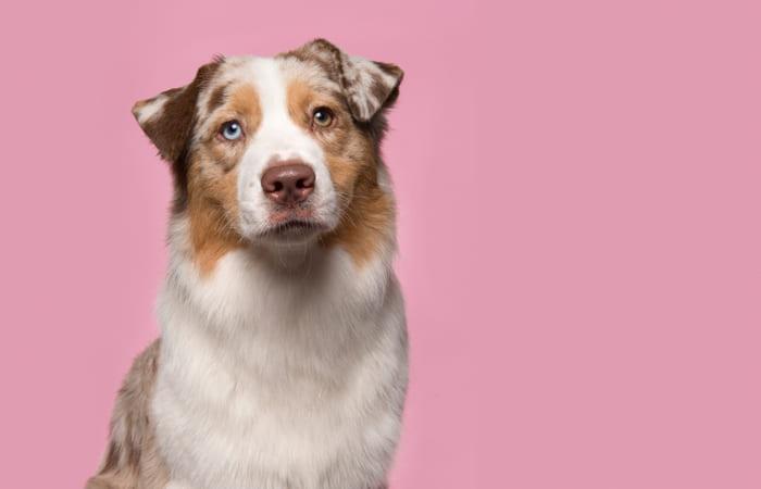 perro raza pastor australiano