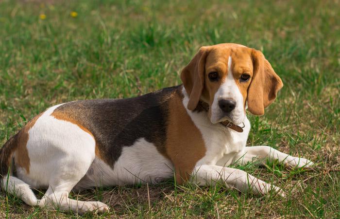 cuanto vive un beagle