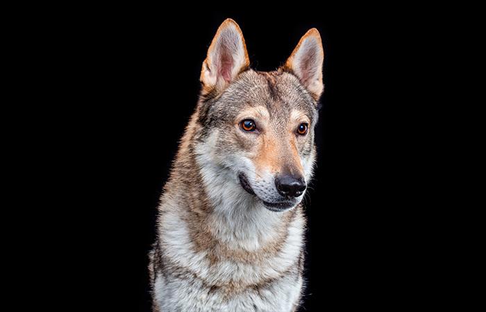 raza perro lobo checoslovaco