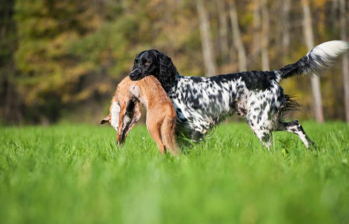 razas de perros de caza mayor