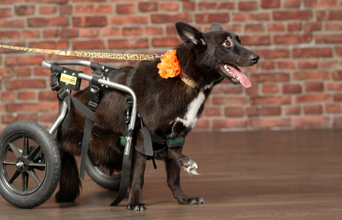 perro en silla de ruedas por displasia