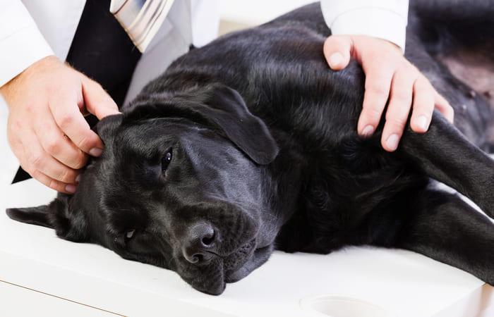 pancreatitis perros