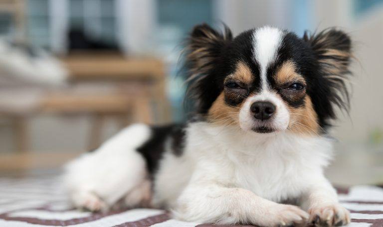 Las principales causas de la aparición de manchas oculares en perros son alergias, obstrucción del conducto naseolagrimal, exceso de lágrima...