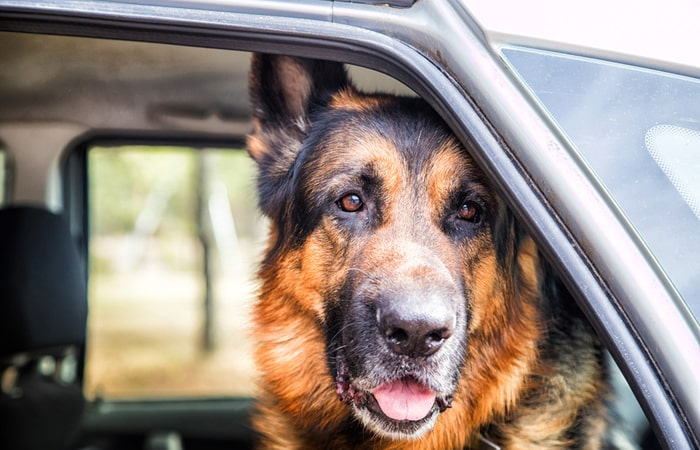 Perro con arnés coche