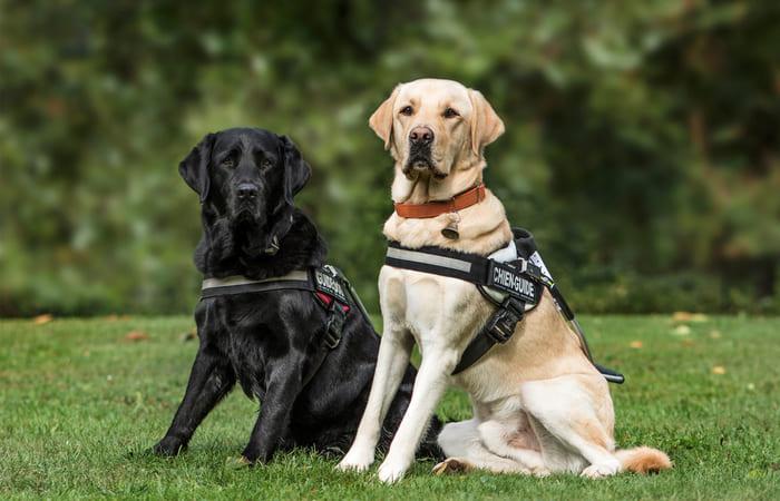Perros de trabajo Labrador