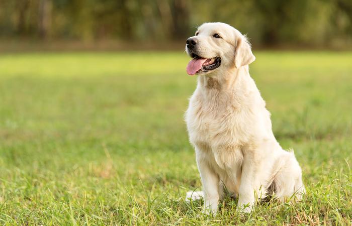 golden retriever raza de perro grande